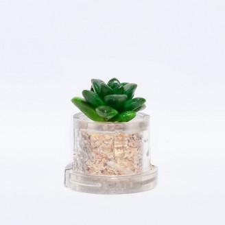 Mini plante Pina - MINICACTUS®