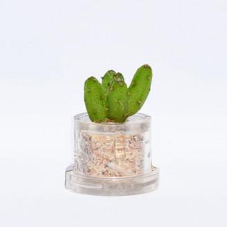 Mini plante cactus minicactus succulente petite plante grasse miniature rhipsalis