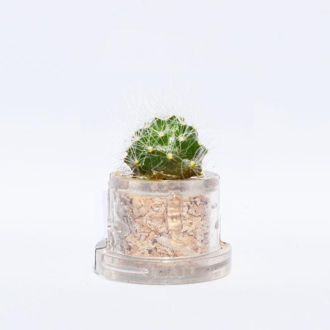 Mini plante cactus minicactus succulente petite plante grasse miniature rebutia
