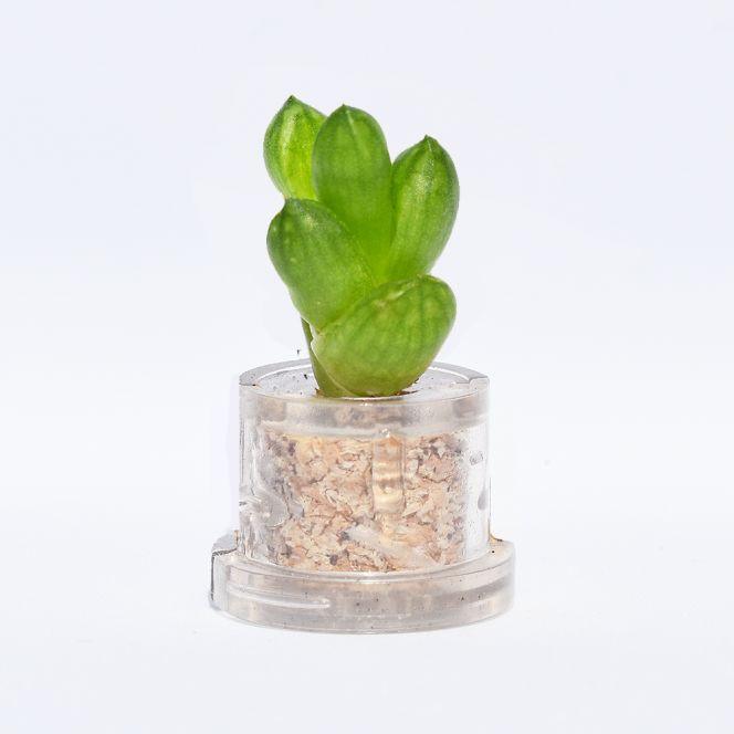 Mini plante cactus minicactus succulente petite plante grasse miniature haworthia