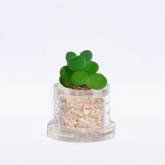 Mini plante cactus minicactus succulente petite plante grasse miniature sedum