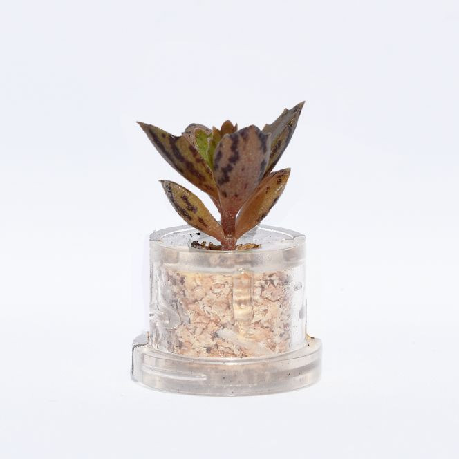 Mini plante cactus minicactus succulente petite plante grasse miniature kalanchoe