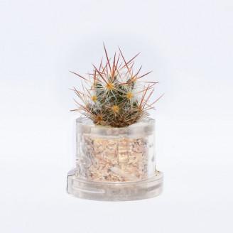 Mini plante cactus minicactus succulente petite plante grasse miniature mammillaria