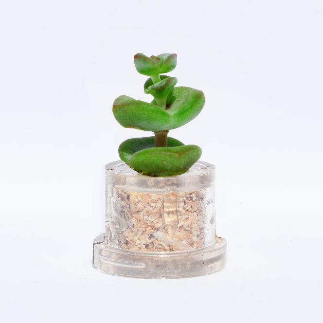 Mini plante cactus minicactus succulente petite plante grasse miniature crassula