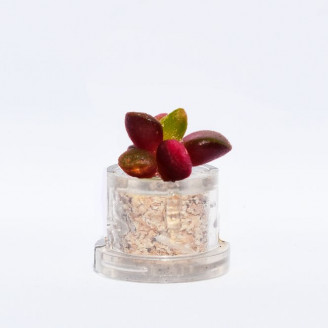 Mini plante cactus minicactus succulente petite plante grasse miniature anacampseros